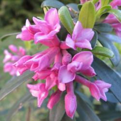 Daphne pink fragrance®