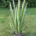 Yucca faxoniana 4 l