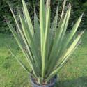 Yucca faxoniana 10 l