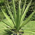 Yucca faxoniana 25 l