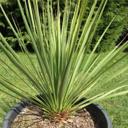 Yucca thompsoniana green form