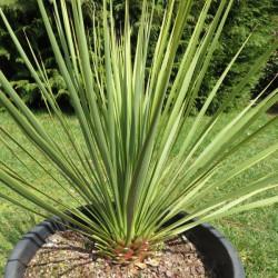 Yucca thompsoniana vert