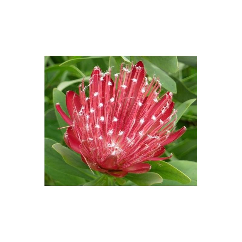 Protea x Clark's red
