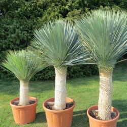 Yucca rostrata (culture champ)