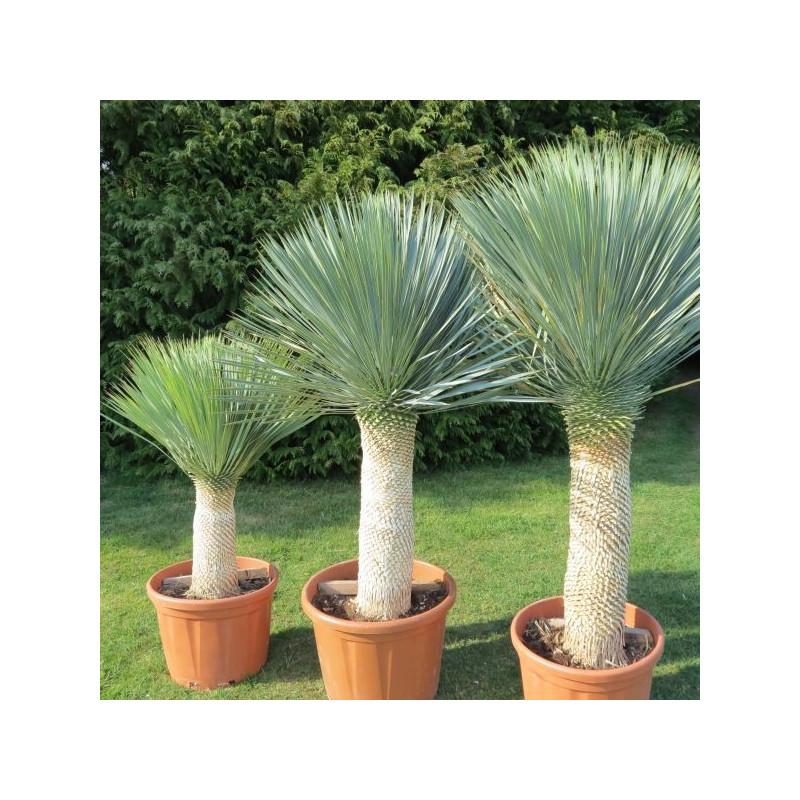 Yucca rostrata (culture plein champ)