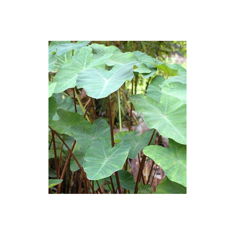 Colocasia Burgundy stem