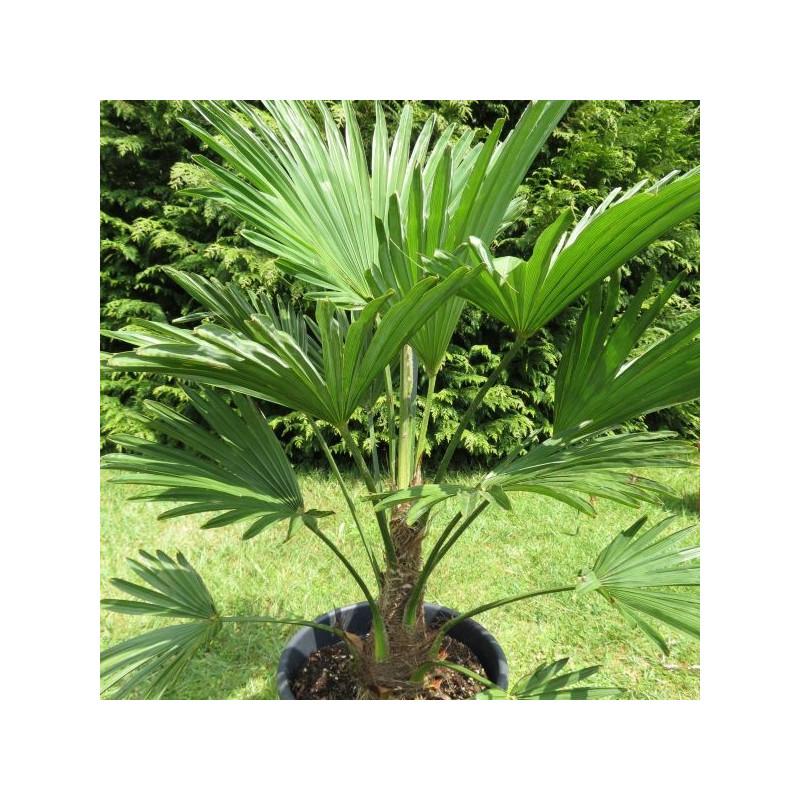 Trachycarpus wagnerianus 10 l