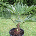 Trachycarpus wagnerianus 7 l