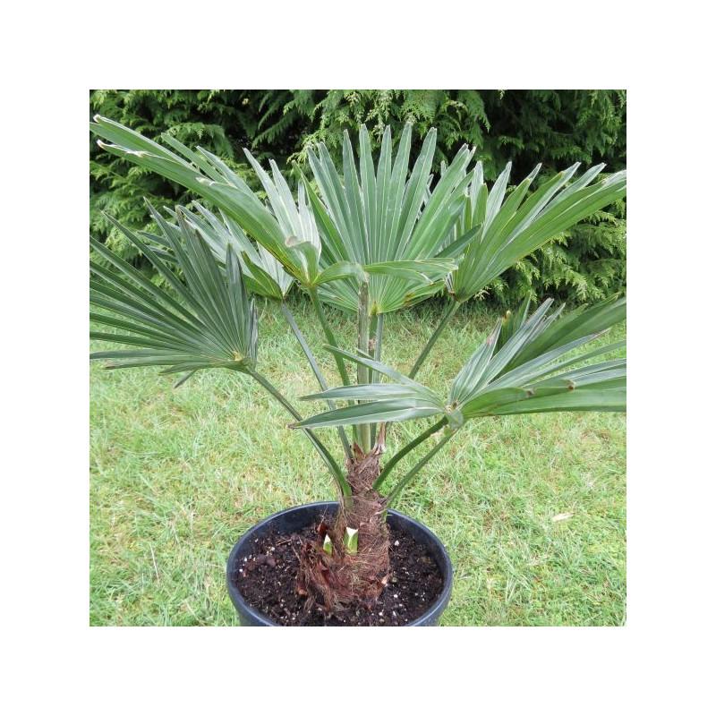 Achat vente palmiers vente en ligne de palmiers for Cactus exterieur resistant au froid