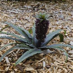 Eucomis Comosa Tugela Jade Fleur Ananas