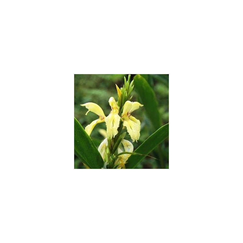 Cautleya gracilis