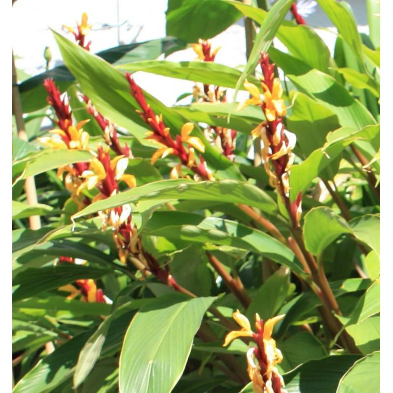 Cautleya spicata
