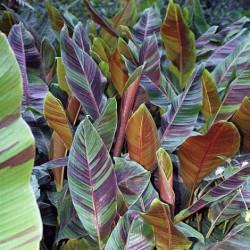 Musa sikkimensis Bengal tiger