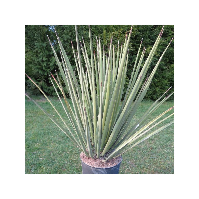 Yucca baccata 10 l