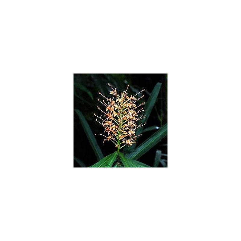 Hedychium coccineum aurantiacum