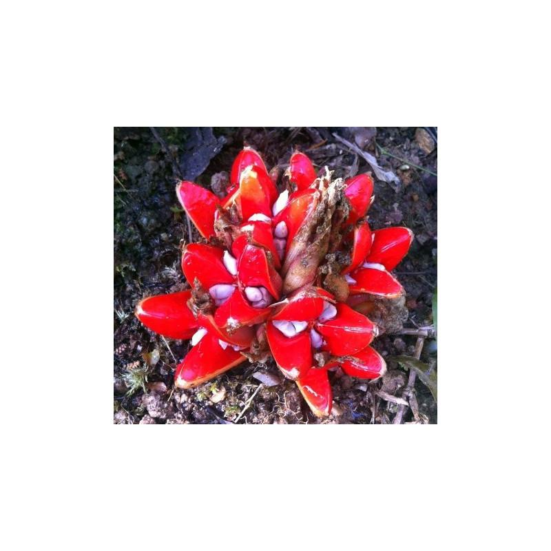 Zingiber chrysanthum
