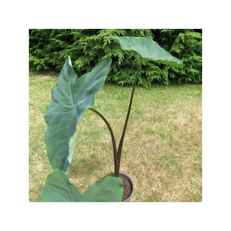 Colocasia antiquorum