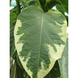 Brugmansia arborea variegata