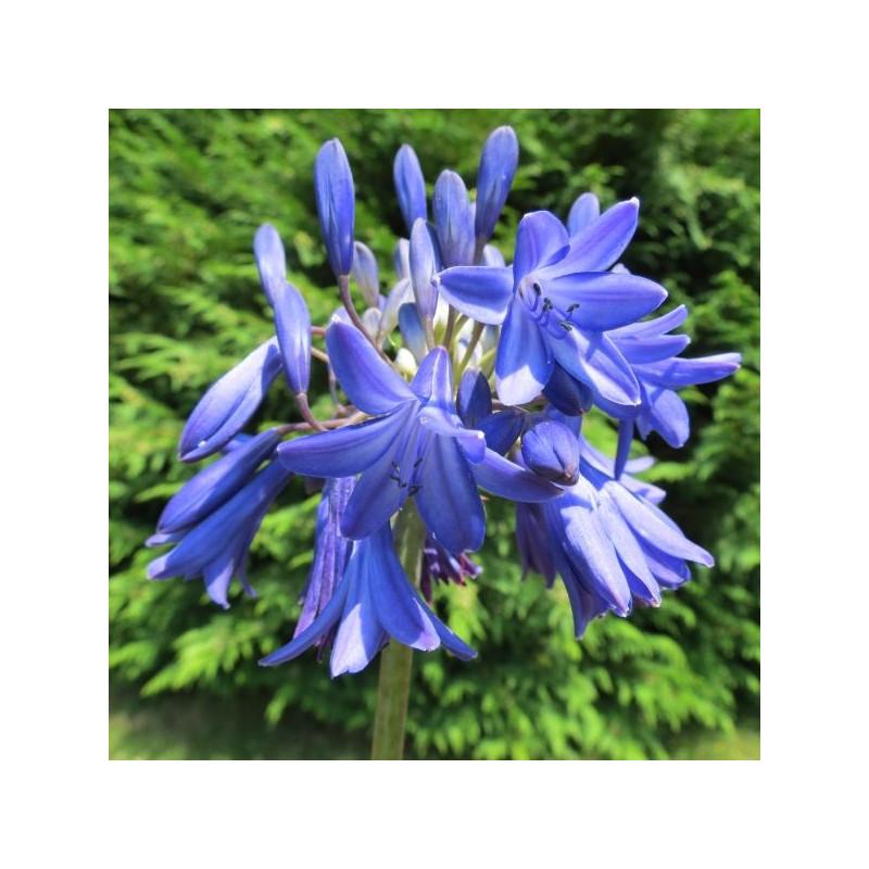 Agapanthus Bressingham blue