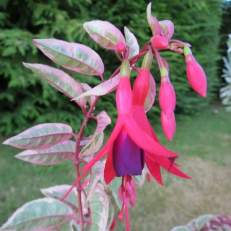 Fuchsia Tom West