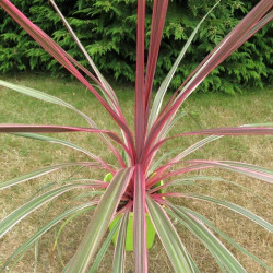 Cordyline Can Can®