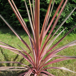 Cordyline pink fire