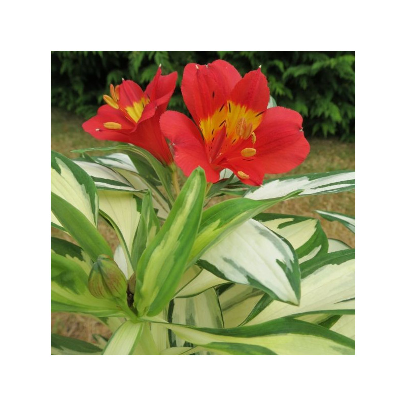 Alstroemeria rock and roll ®