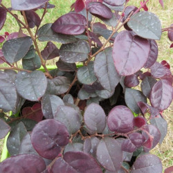 Loropetalum plum gorgeous®