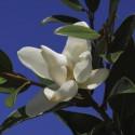 Magnolia alta®