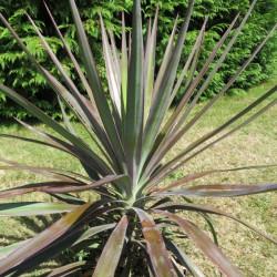 Yucca aloifolia purpurea