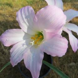 Cooperanthus hortensis
