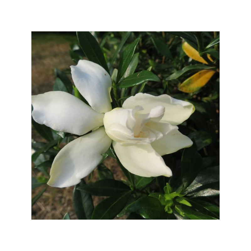 Gardenia perfumed petticoats®