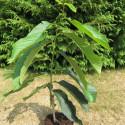 Asimina triloba sunflower