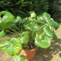 Farfugium japonicum giganteum 10 l