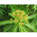 Euphorbe mellifère - fleur