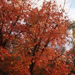 Acer griseum feuillage