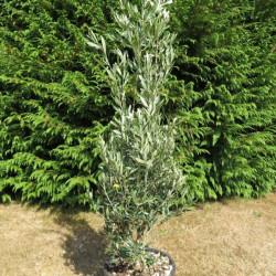 Olea cipressino
