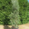 Olea cipressino 40 l