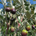 Olea leccino (olives)