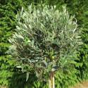 Olea leccino (forme boule)