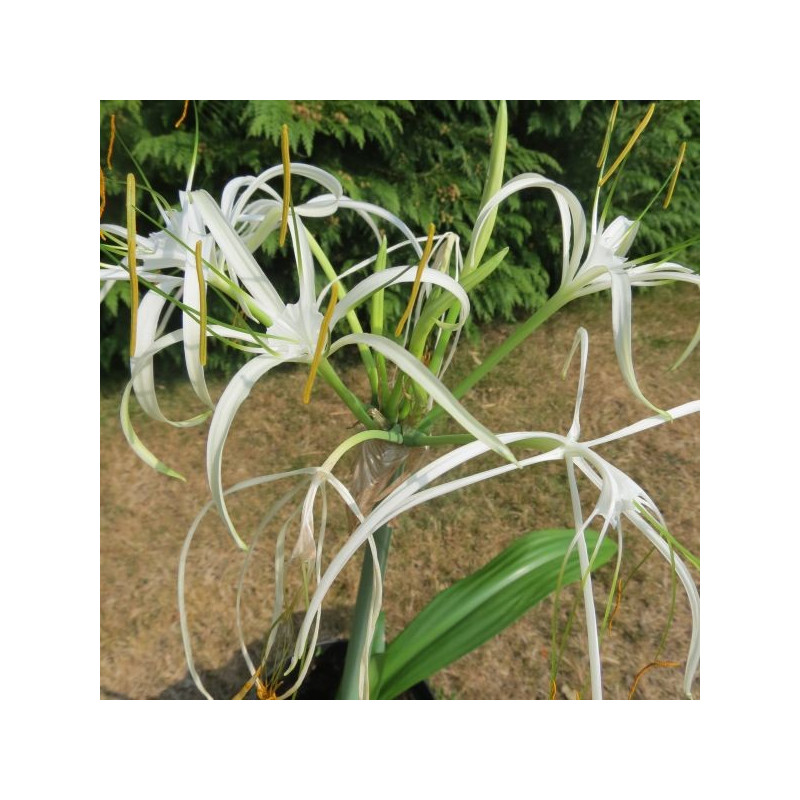 Hymenocallis tropical giant