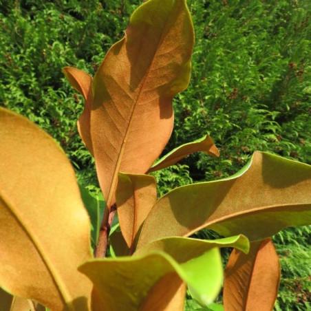 Magnolia Bracken's brown beauty