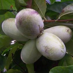 Asimina triloba mango