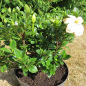Gardenia Kleim's hardy 7 l
