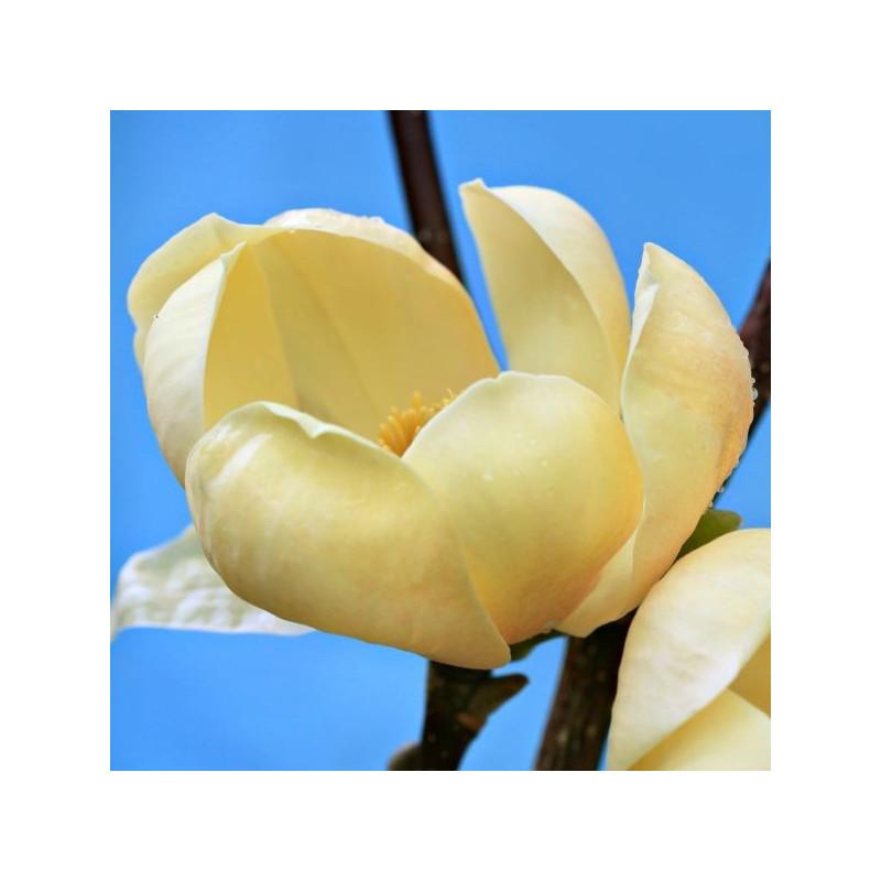 Magnolia honey tulip