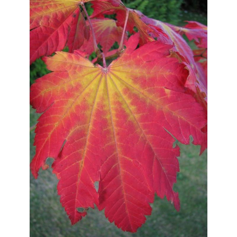 Acer japonicum vitifolium feuille