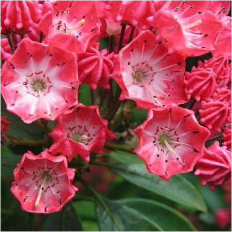 Kalmia latifolia pinkobello