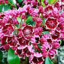 Kalmia latifolia heart's desire