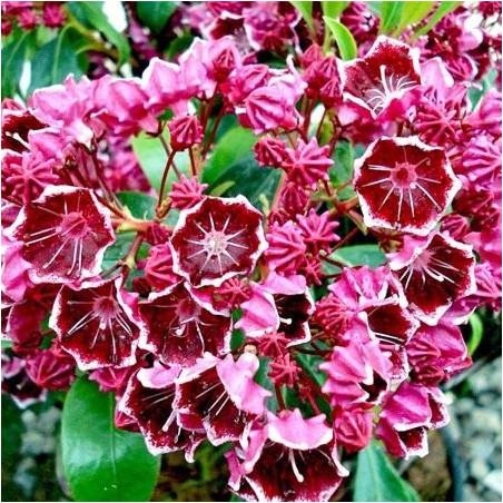 Kalmia latifolia hearts desire