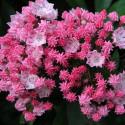 Kalmia latifolia you can